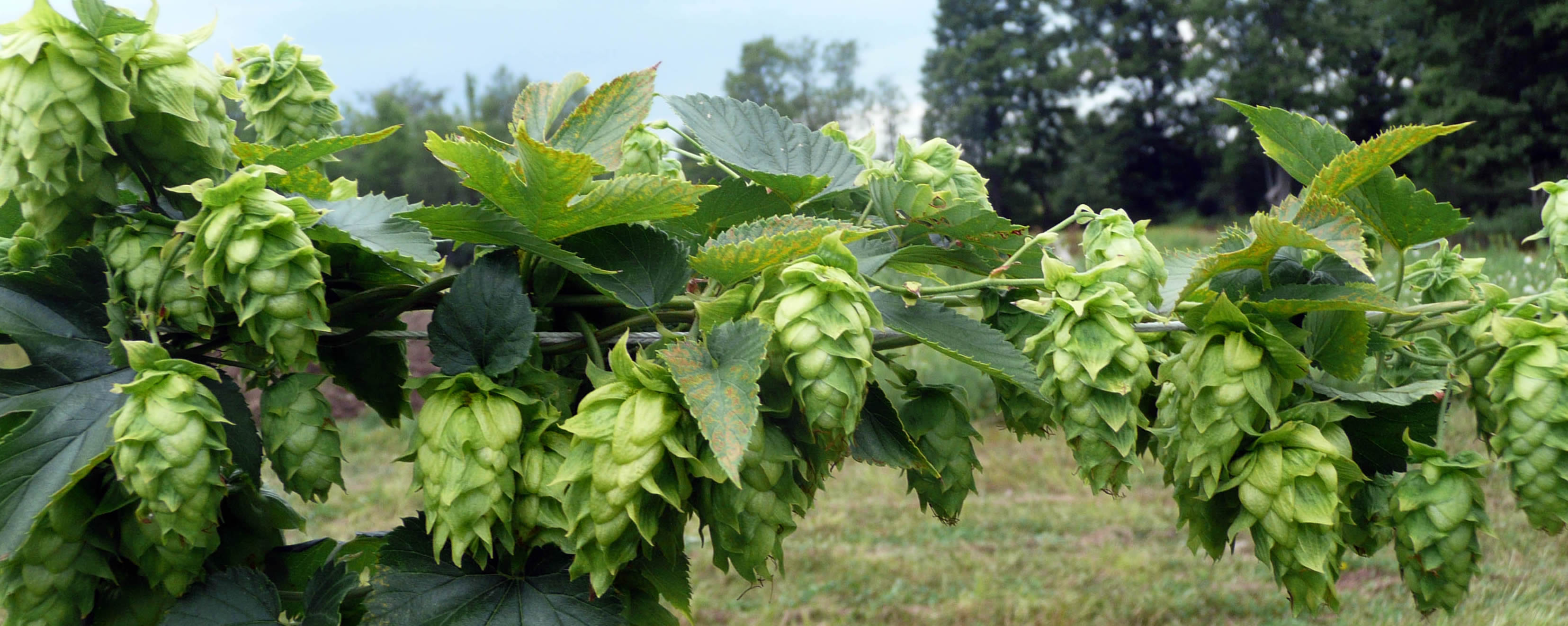 Grow your own hops hops picture